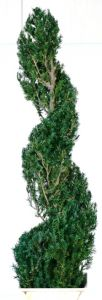 Preserved Classic Spiral Topiary 40 inch in Juniper Foliage